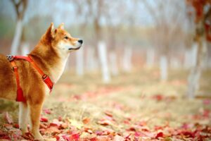 Shiba Inu's [SHIB] price on a tear, but do investors need to worry?